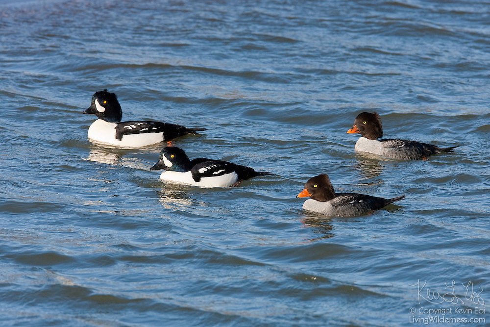 Two adult pairs of Barrow's Goldeneye (Bucephala islandica) swim on the Squamish River near Brackendale, British Columbia, Canada. The species was originally described as being from Iceland, but is also common throughout the mountains of northwest North America.