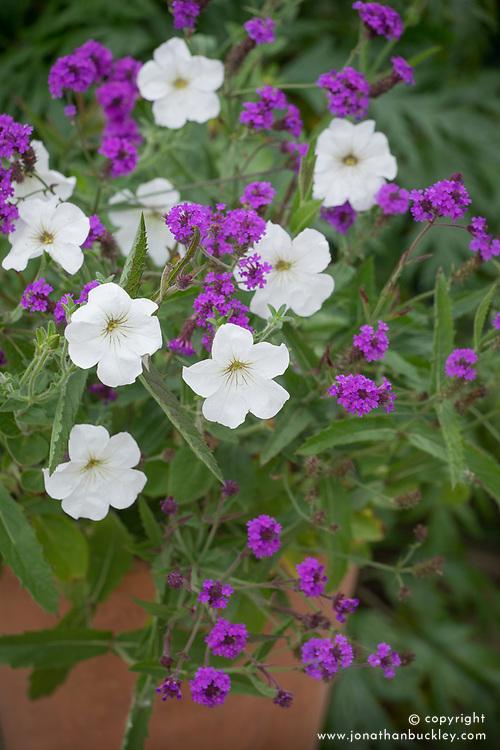 Pot with Verbena rigida syn. Verbena venosa and Petunia axillaris - Large White Petunia, Wild White Petunia.