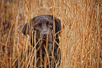 Chocolate Labrador Retriever with beautiful golden eyes sitting ready in tall grass.