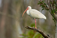Arthur C Marshall Wildlife Reserve, Loxahatchee, Florida. White Ibis perched in tree