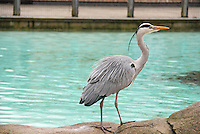 Heron, ZSL London Zoo Annual Stocktake 2015, Regents Park, London UK, 05 January 2015, Photo By Brett D. Cove