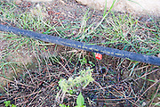 Garden watering system. Drip irrigation system watering plants in a garden. Drip irrigation is an efficient way to save water. Each hose (black) has a small hole in its wall that allows water to drip out. The holes are positioned next to each plant so water is only placed where a plant will be able to use it. Photographed in Cyprus