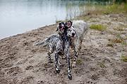 """English Setter Welpe """"Rudy"""" mit seiner Schwester """"Tavi"""" am 26.08. 2017 nach dem Schwimmen im Teich von Stara Lysa, (Tschechische Republik).  Rudy wurde Anfang Januar 2017 geboren und ist vor einiger Zeit zu seiner neuen Familie umgezogen."""