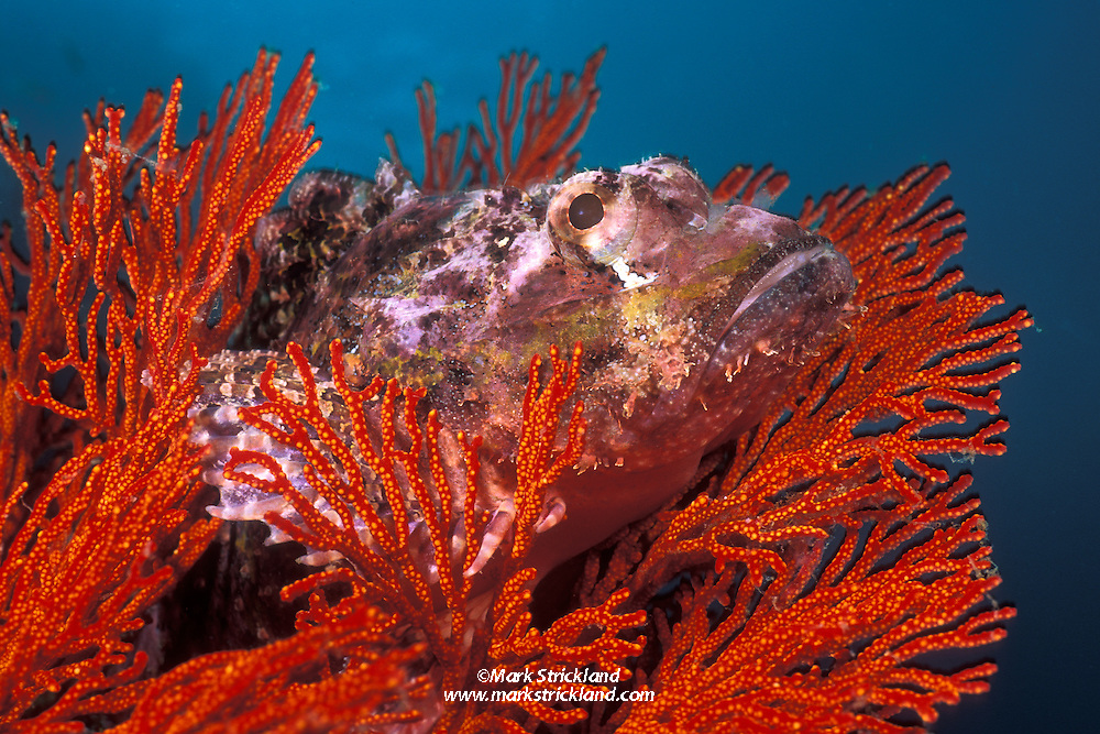 Small-scaled Scorpionfish, Scorpaenopsis oxycephalus, nestled among gorgonian branches as it waits for prey to come within striking distance. Mergui Archipelago, Myanmar/Burma, Andaman Sea