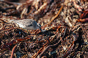 Red Knot (Calidris canutus) feeding amoung kelp washed ashore at Revtangen, south-western Norway in September.