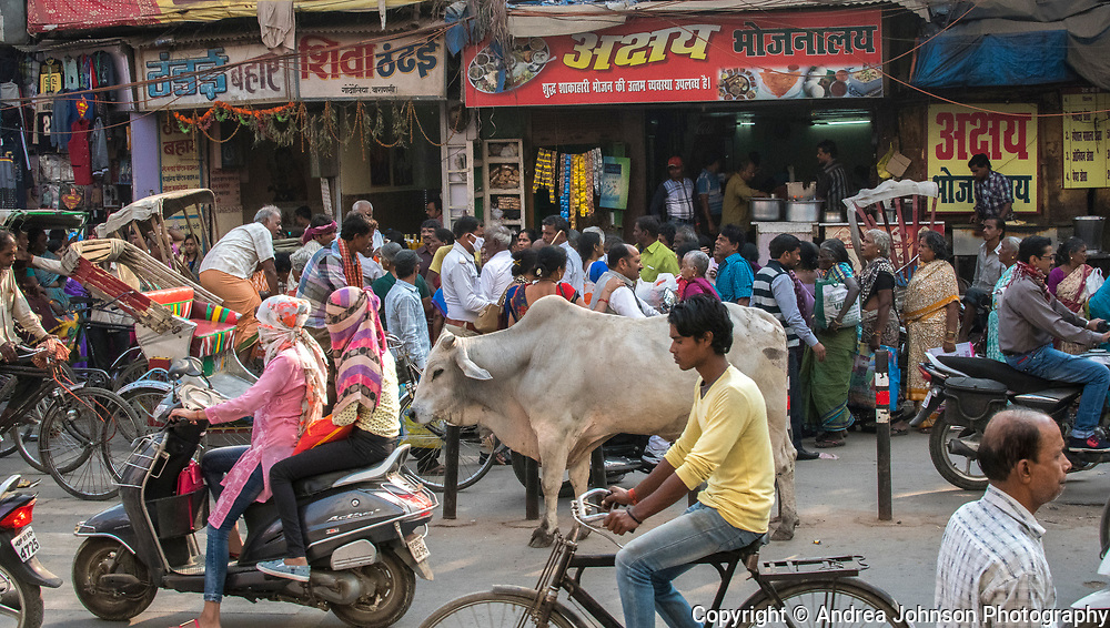 Constant stream of moving traffic around cow Varanasi, India