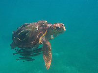 An old loggerhead turtle swimming with remora covering his carapice