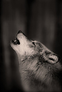 Image of a wild gray wolf (Canis lupus) in Montana, property released by Randy Wells