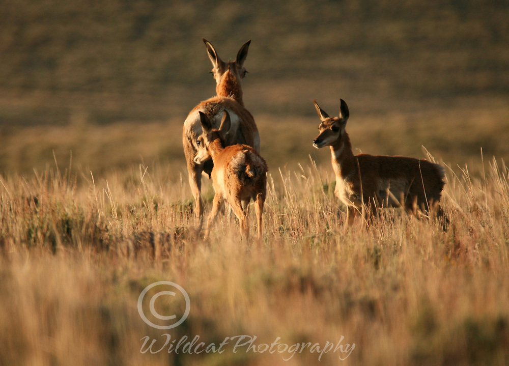 Mother pronghorn and fawns