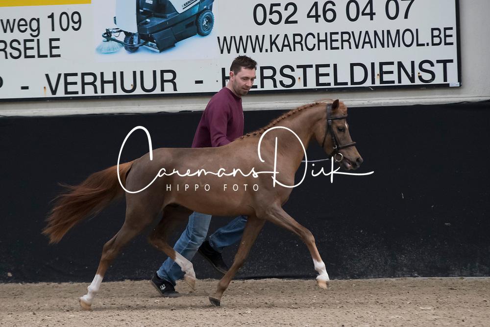 02 - Rafaello Ter Rozendaele<br /> BrP Keuring <br /> Hulsterlo - Meerdonk 2017<br /> © Hippo Foto - Dirk Caremans<br /> 17/03/2017