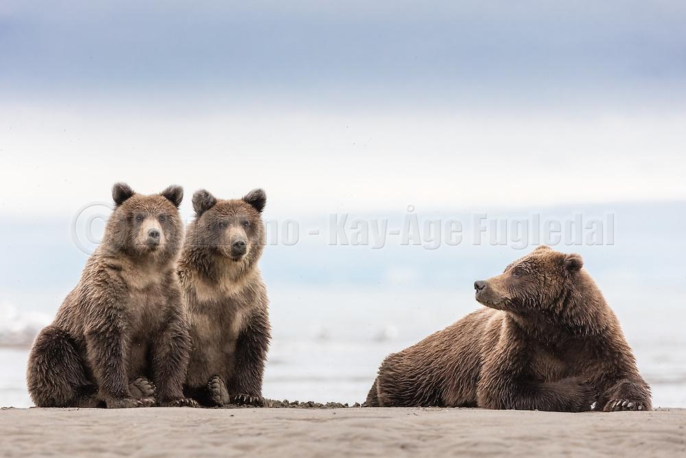 A proud mother of two lovely bearcubs,  Silver Salmon Creek, Lake Clark, Alaska   En stolt mor til to skjønne bjørnunger