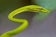 Green vine snake (Ahaetulla nasuta) from Sabah, Borneo.