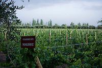 Young Malbec grapes on vines at Finca La Heredad, which surrounds Club Tapiz, a boutique hotel, in the Luján de Cuyo area of Mendoza, Argentina.