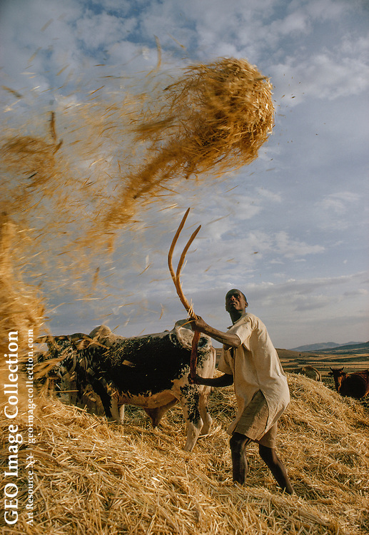 A farmer separates wheat from chaff using a constant wind.