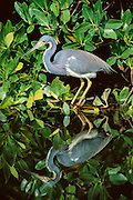 Fishing Tricolored Heron Reflection
