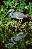 Tri-colored Herons