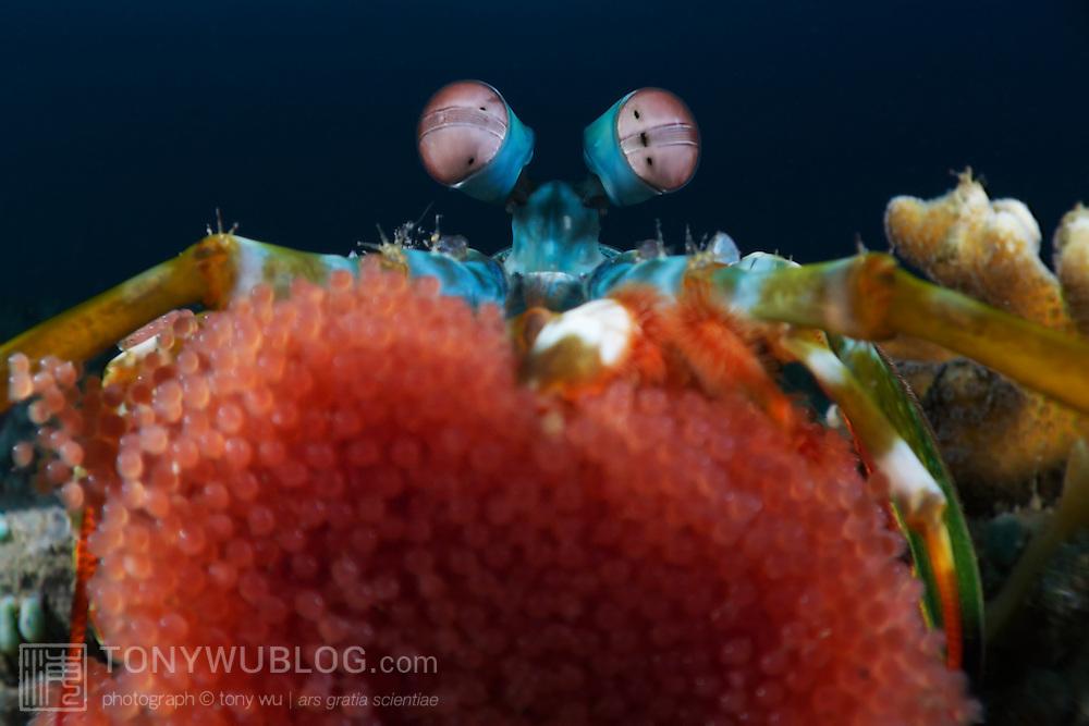 Rainbow mantis shrimp (Odontodactylus scyllarus) resting its eggs on the camera lens