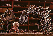 """Paleontologist prepares Carnotaurus (left) and Amargasaurus (right), a """"jibbed"""" sauropod from the Argentina at the Museo de Ciencias Naturales de Buenos Aires."""