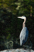 Blue Heron looking into the rising sun on a Canadian lake.