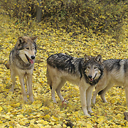 Gray Wolf (Canis lupus) pack during autumn in Montana. Captive Animal