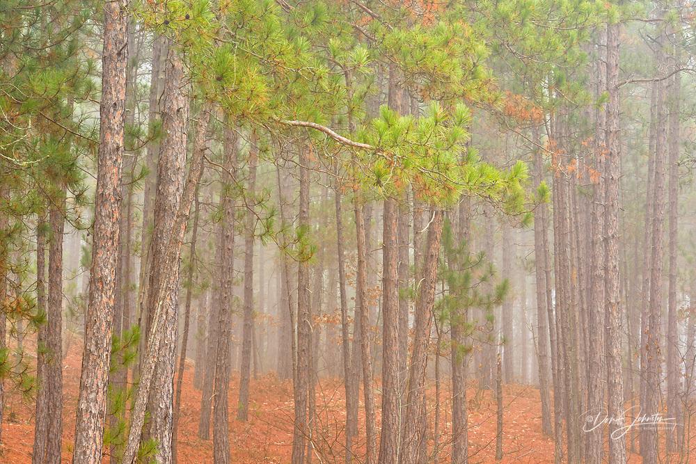 Red pine woodland in morning fog, Greater Sudbury, Ontario, Canada