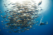 Large schools of Red Snapper (Lutjanus bohar) gathered at Ras Mohammed, with diver videoing them