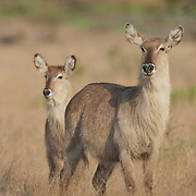 Waterbuck, Adult female with young, Londolosi, Sabi Sand Game Reserve, South Africa.