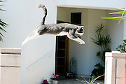 Cat in the air while leaping from post to post