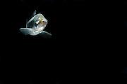 European whitefish (Coregonus lavaretus) (captive) | Große Maräne oder Lavaret (Coregonus lavaretus)