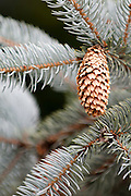 A lone pine cone hangs from an evergreen tree. Missoula Photographer