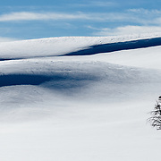 Bison feed along the hillsides of the Hayden Valley in winter in Yellowstone.