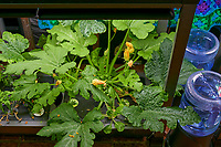 AeroGarden Farm 05-Right. Zucchini Plants (58 days). Image taken with a Leica TL-2 camera and 35 mm f/1.4 lens (ISO 500, 35 mm, f/8, 1/50 sec).