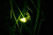 Glow worm (Lampyris noctiluca) female displaying. Sussex, UK.