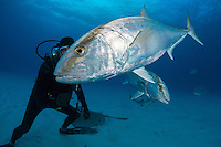 A Diver feeds an unafraid Amberjack<br /> <br /> Shot in Bahamas
