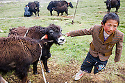 Tibetan nomadic yak herder Karsal's son wrangles the calves so that Phurba can milk their mothers near their tent on the Tibetan Plateau.  (From the book What I Eat: Around the World in 80 Diets.)
