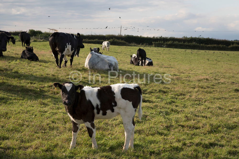 Young Friesian calf in a field near Branscombe, Devon, England, United Kingdom.
