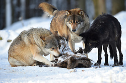 28.12.2014, Wildtierpark, Bad Mergentheim, GER, Wölfe im Wildtierpark Bad Mergentheim, im Bild 3 Woelfe fressen am Kadaver eines Wildschweins, Timberwolf, Kanadischer Wolf (Canis lupus occidentalis) im Schnee, captive // Wolves in the Wildtierpark in Bad Mergentheim, Germany on 2014/12/28. EXPA Pictures © 2015, PhotoCredit: EXPA/ Eibner-Pressefoto/ Weber<br /> <br /> *****ATTENTION - OUT of GER*****