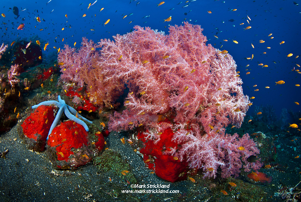 Dark volcanic substrate further emphasizes the brillinat colors of these pink soft corals, Dendronepthya sp., red encrusting sponge, and Blue Sea Star, Linckia laevigata. Barren Island, Andaman Islands, India