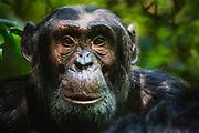 Close-up portrait of a chimpanzee (Pan troglodyte),Kibale National Park, Uganda, Africa