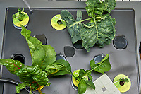 AeroGarden Farm 03 Left Tray at 28 days. L01-L03 Broccoli; L10 Swiss Chard; L11-12 Arugula. Image taken with a Leica TL-2 camera and 35 mm f/1.4 lens (ISO 800, 35 mm, f/16, 1/25 sec). After Swiss Chard partial harvest.