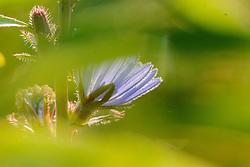Wilde cichorei, Cichorium intybus