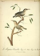 figuier Crombec [figbird] from the Book Histoire naturelle des oiseaux d'Afrique [Natural History of birds of Africa] Volume 3, by Le Vaillant, François, 1753-1824; Publish in Paris by Chez J.J. Fuchs, libraire 1799 - 1802
