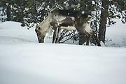Reindeer (Rangifer tarandus) browsing between snow mounds, Saariselkä, Finland Ⓒ Davis Ulands   davisulands.com