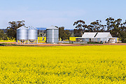grain silos and old equipment shed in canola field near St Arnaud, Victoria, Australia <br /> <br /> Editions:- Open Edition Print / Stock Image