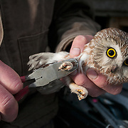 A researcher taking data on a Northern Saw-whet Owl (Aegolius acadicus) in Montana.
