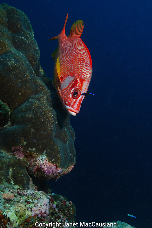 A Sabre Squirrelfish (Sargocentron spiniferum) is being cleaned by a wrase.