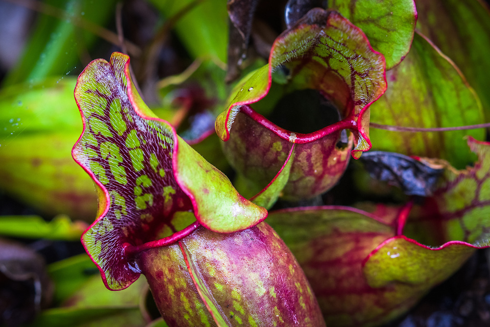 Close up of the carnivorous pitcher plants found in the bog of the Cranberry Glades area of West Virginia.