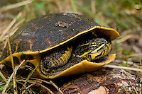 The eastern chicken turtle (Deirochelys reticularia reticularia) is a subspecies of the common chicken turtle (Deirochelys reticularia) that is found throughout most of the American Southeast that is often found in wetlands, lakes and marshes. This one was found and photographed in Southwest Florida  moving overland from one pond to another in the Fakahatchee Strand - part of the northern Florida Everglades watershed system. An easy identification tool is to look for the thick yellow stripe on the forelimb, and as to its common name - the early settlers who caught and ate them thought they tasted like chicken.