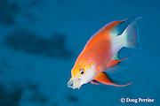 Hawaiian longfin anthias, Pseudanthias hawaiiensis (formerly Pseudanthias ventralis hawaiiensis ), male, yawning, endemic to Hawaiian Islands, Honaunau, Kona, Hawaii ( Central Pacific Ocean )