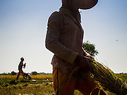 27 FEBRUARY 2015 - PONHEA LEU, KANDAL, CAMBODIA: Women harvest rice during the rice harvest in Kandal province, Cambodia. Kandal province is an agricultural province north of Phnom Penh.    PHOTO BY JACK KURTZ